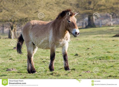 horse przewalski wild asian takhi called mongolian subspecies which