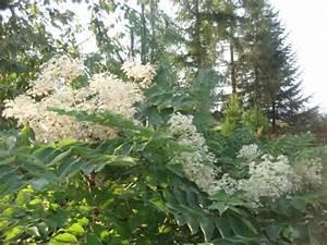 Japanische Pflanzen Winterhart : japanische aralie aralia elata pflanzen enzyklop die ~ Michelbontemps.com Haus und Dekorationen