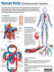 9  The Cardiovascular And Respiratory Systems