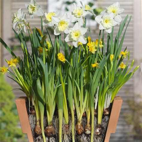 buy bulb lasagne collection for pots bulbs for pots