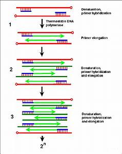 Schematic Representation Of The Polymerase Chain Reaction