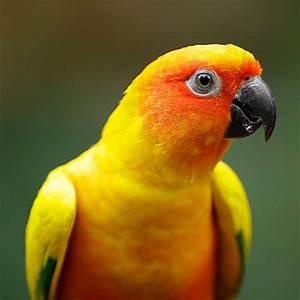 Sun Conure - Jurong Bird Park | Wildlife Reserves Singapore