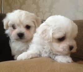 Maltese Bichon Frise Puppies