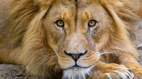 lions  roaring facts   king   beasts