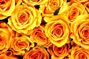 صور ورد جوري جديدة 2017 , اجمل الورود بكل الالوان احمر ...