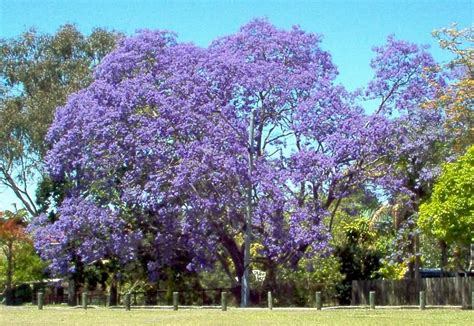 jacaranda tree file jacarandatree jpg wikimedia commons
