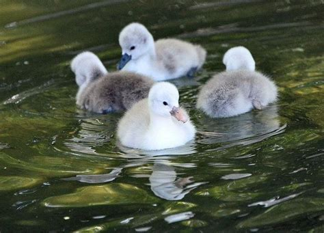 17 Best Images About Baby Swans On Pinterest  Fine Art