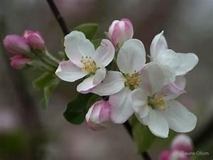 U0026quot Apple Blossom U0026quot  By Dawne Olson