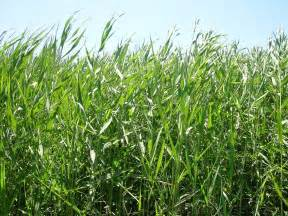 Common Reed Grass