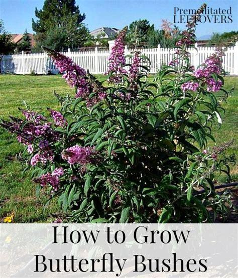 25 best ideas about butterfly bush on buddleia plant butterfly bush care and bush bush