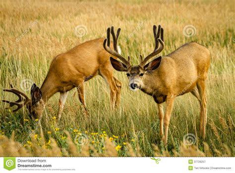 mule deer wallpaper wallpapersafari