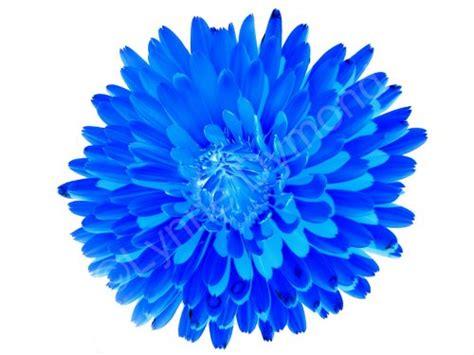 blue flower  white abstract blue pot  scotch