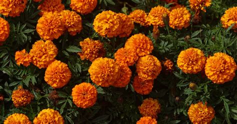 do marigolds keep bugs away flowers to repel pests in vegetable garden ehow uk