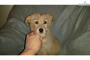 Shepadoodle puppy for sale near Dayton / Springfield, Ohio ...