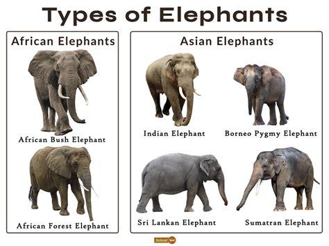 Elephant Facts Types Classification Habitat Diet