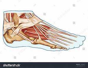 Foot Muscles Tendons Anatomy Leg Foot Stock Vector