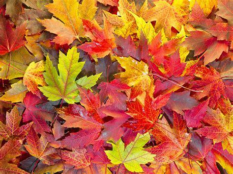 Autumn Maple Leaves Fall Color
