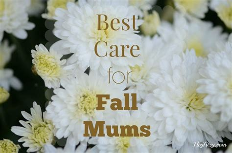 caring for mums how to care for fall mums hey fitzy