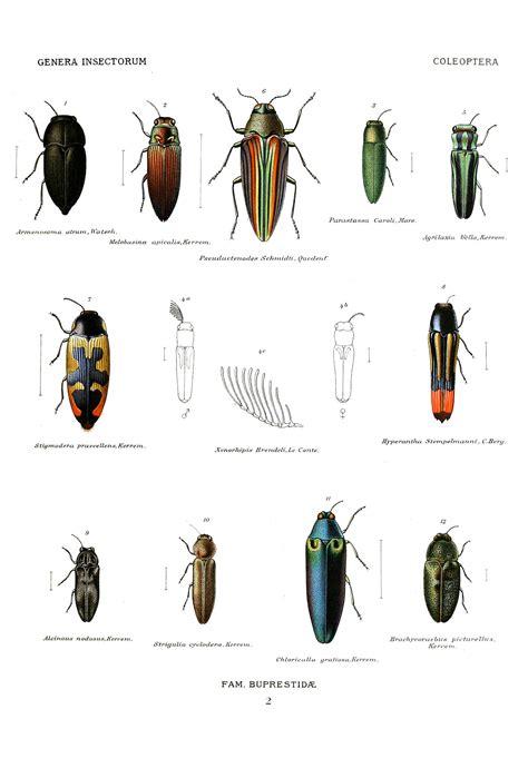 buprestidae wikipedia