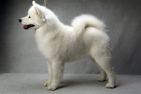do samoyed huskies shed samoyed puppies for sale with price details and pictures