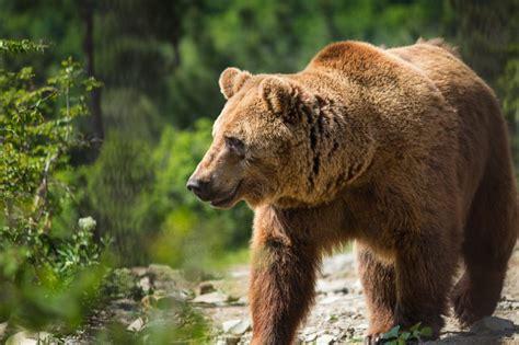 Reportāža! Lāči Latvijā. Ko darīt? | Medības