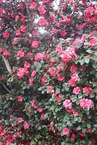 Camellia Japonica Winterhart : the queen of the winter flowers camellias claire bickle ~ Eleganceandgraceweddings.com Haus und Dekorationen