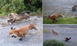 is a fox a or cat outfoxed fearless forest cat turns guard as he chases