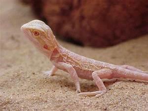 Albino Lizard | Powder | Pinterest