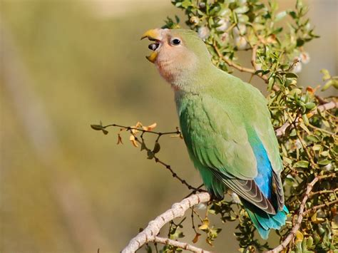 file peach faced lovebird eating seeds from tree jpg