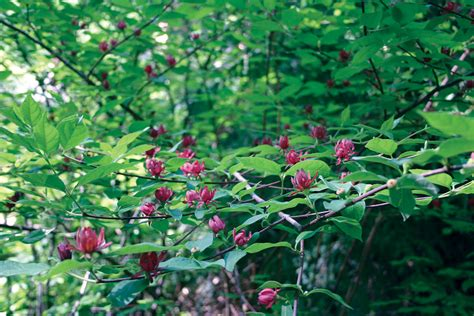 bushes for shade sunless success 15 great easy to grow shrubs for shade