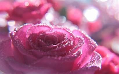 Glitter Pink Rose Water Macro Flower Droplets