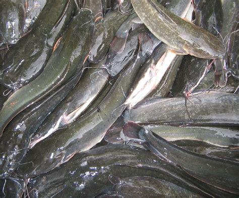Jual Bibit Lele Sangkuriang Pontianak gambar ikan lele terlengkap infoikan