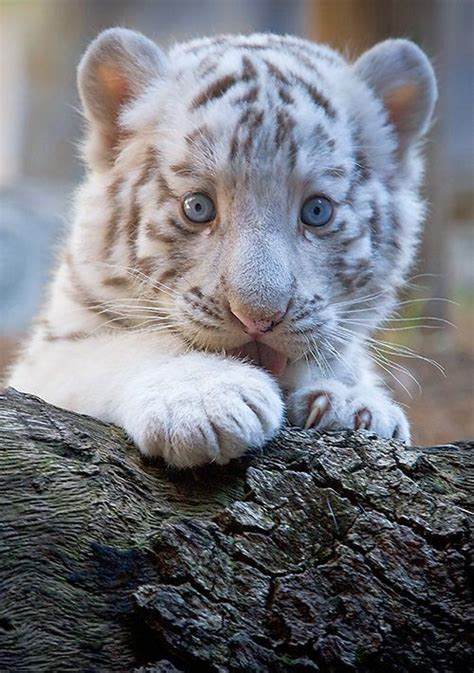 baby bengal tiger pictures   images
