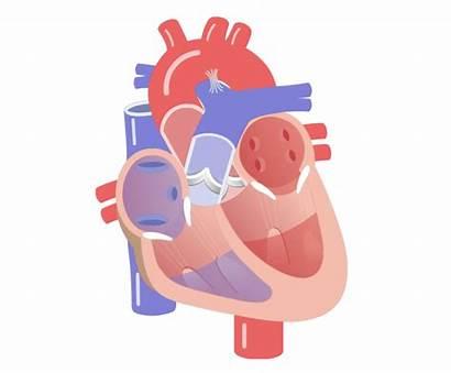 Heart Clipart Movement Valves Cycle Valve Telemetry