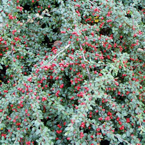 Kübelpflanzen Winterhart Immergrün by K 252 Belpflanzen Winterhart Immergr 252 N Winterharte K