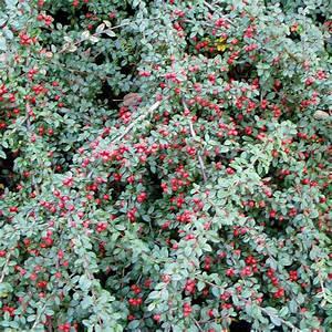 Gräser Winterhart Immergrün : die kriechmispel cotoneaster dammeri 39 coral beauty ~ Michelbontemps.com Haus und Dekorationen