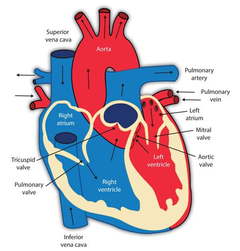 Diagram Of The Heart For Kids  Anatomy Organ