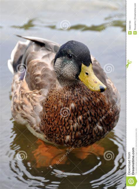 cute duck stock image image  orange bird camera