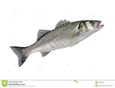 Images Of Bass Fish Sea Bass Fish Stock Photos Image 34249223