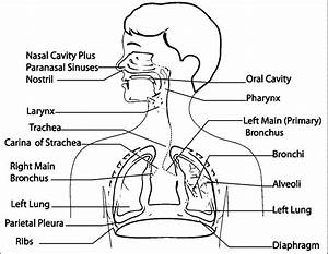 Blank Respiratory System Diagram No Labels