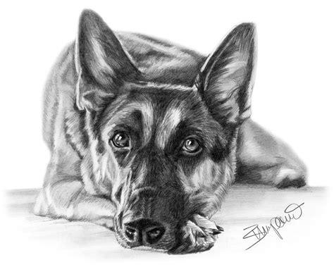 pencil portrait  german shepherd drawn  wendy zumpano