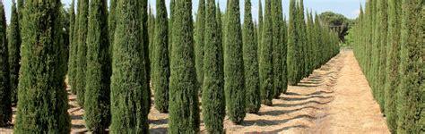 piante ricanti da terrazzo cipressi in vaso 28 images il cipresso discoverpistoia