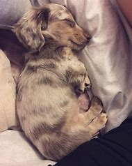 Best Dapple Dachshund Ideas And Images On Bing Find What Youll Love