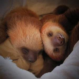 Baby Sloth Sleeping | www.pixshark.com - Images Galleries ...