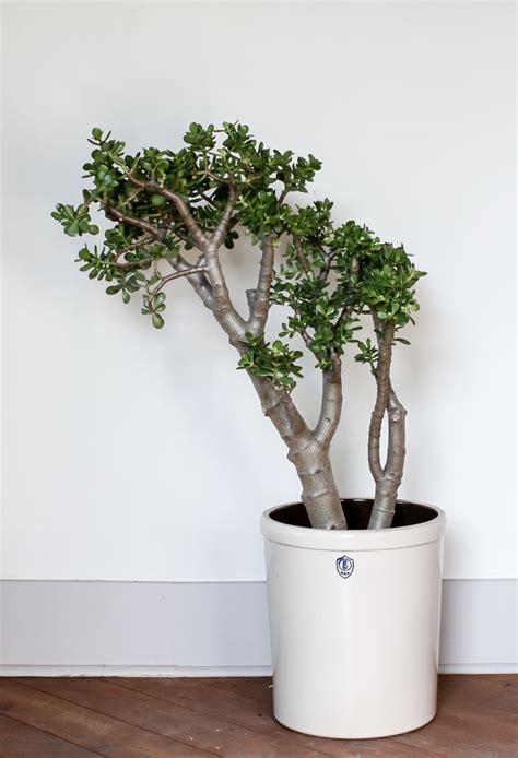 indoor tree plants create an indoor jungle with these large indoor plants pistils nursery