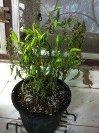 ต้นพริกใบเหี่ยวแบบนี้จะรอดไหมครับ TT - Pantip