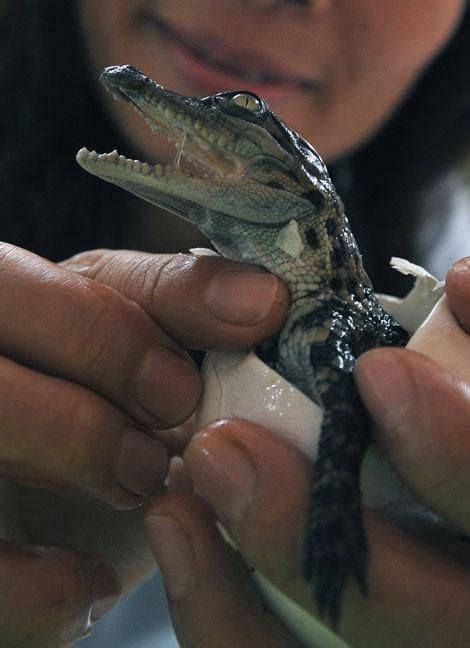 naissance de b 233 b 233 s crocodiles 192 voir