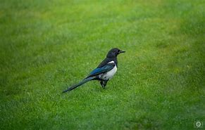 Image result for MAGPIE BIRD FREE PHOTO