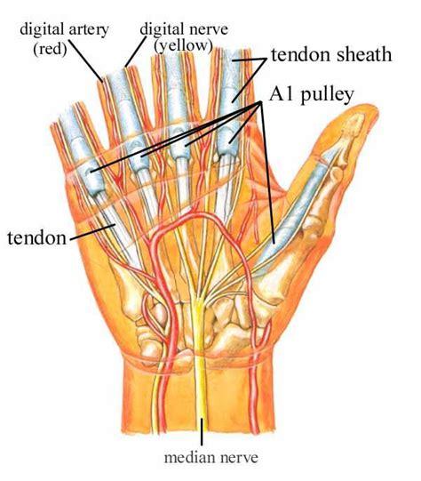 Trigger Finger Diagram by Trigger Finger Images Health Issues