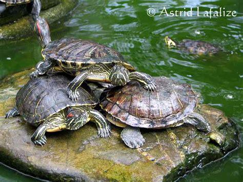 les tortues d eau et de terre terrestre